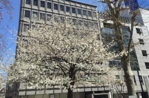 sakura-toshima